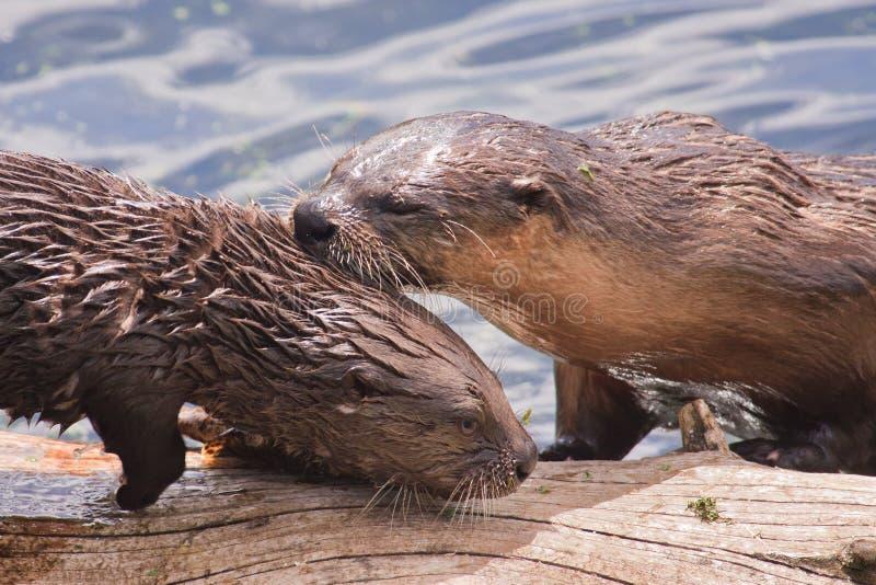 Lontra di fiume del Pup e della madre immagini stock libere da diritti