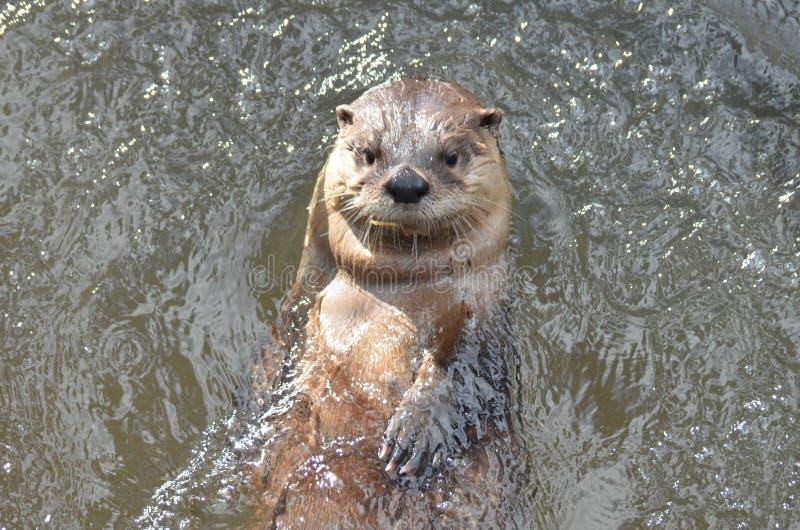 Lontra di fiume sveglia eccellente che galleggia in un fiume fotografia stock libera da diritti