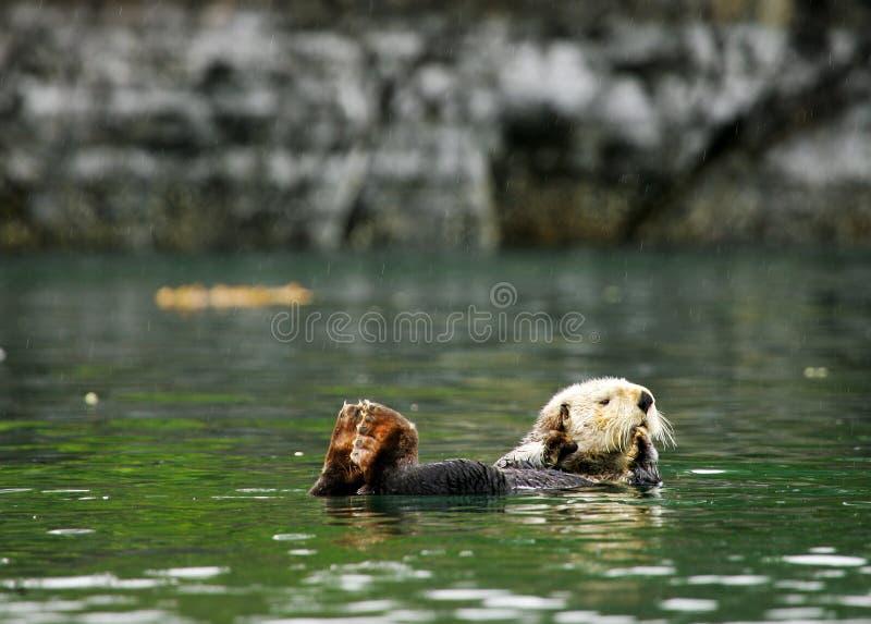 Lontra di mare immagini stock