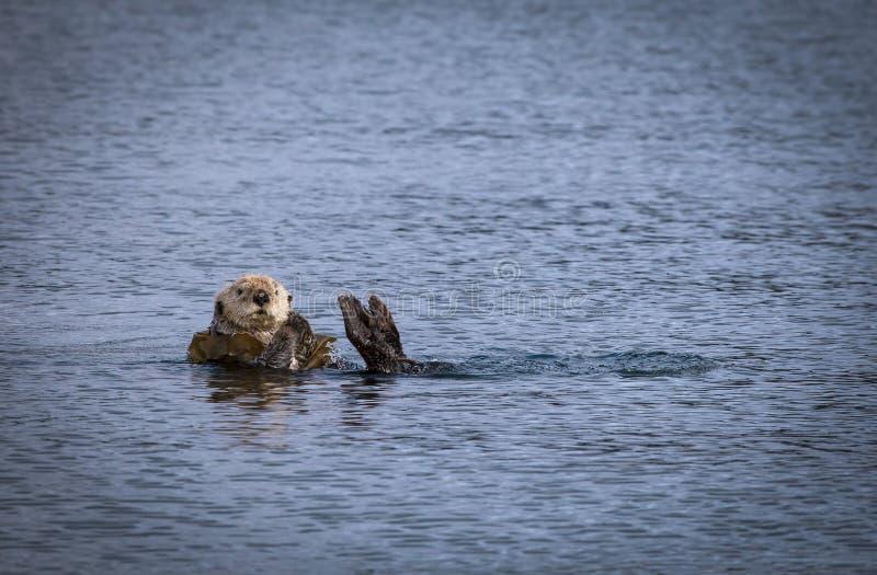 Lontra di mare con fuco immagine stock