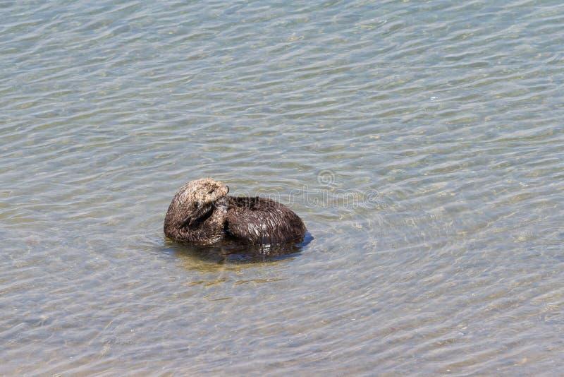 Lontra di mare - enhydra lutris immagini stock libere da diritti