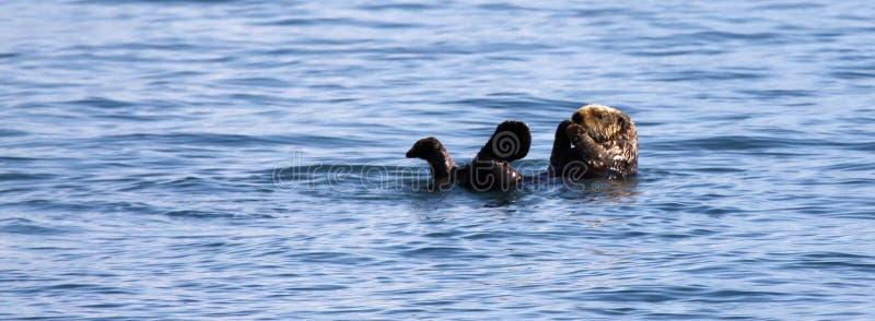 Lontra di mare - sosta nazionale dei fiordi di Kenai immagine stock libera da diritti