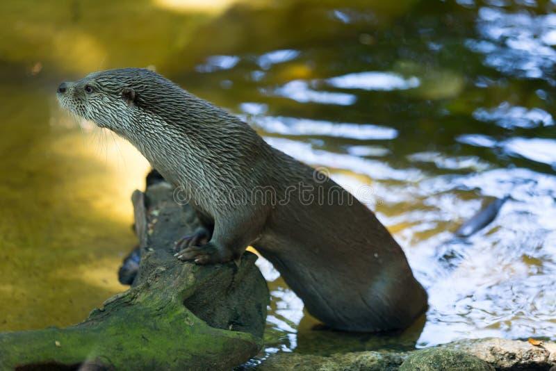 Download Lontra europea fotografia stock. Immagine di selvaggio - 56878266