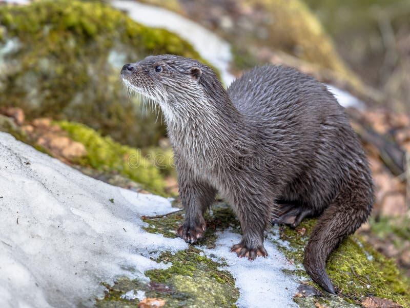 Lontra europeia no banco do rio foto de stock royalty free