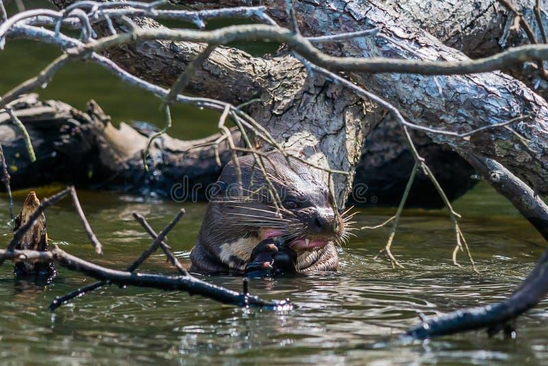 Lontra gigante che mangia nella giungla peruviana di Amazon fotografia stock