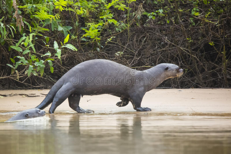 Lontra gigante femminile selvaggia che passeggia lungo la spiaggia dalla giungla fotografie stock libere da diritti