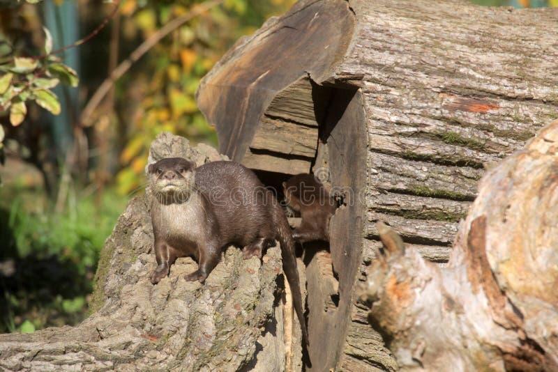 Lontra nana cinese fotografia stock libera da diritti