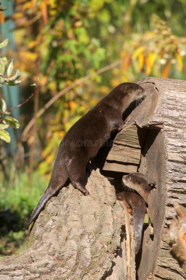 Lontra nana cinese fotografia stock
