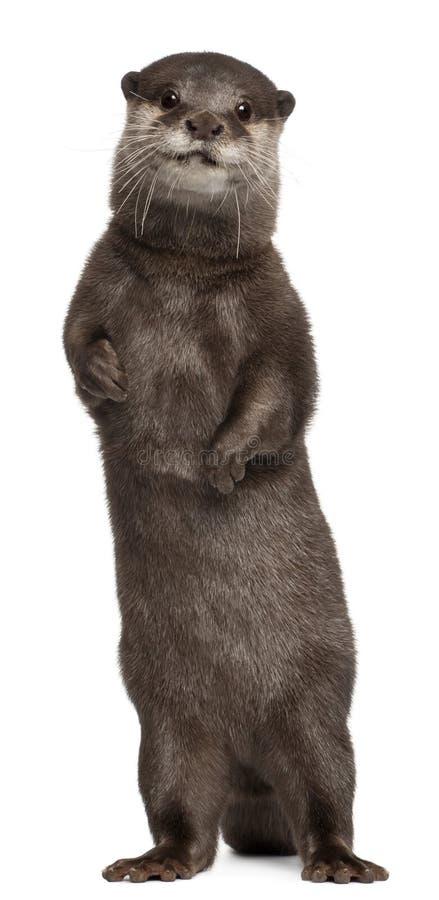 Lontra pequeno-agarrada oriental, Amblonyx Cinereus fotografia de stock royalty free
