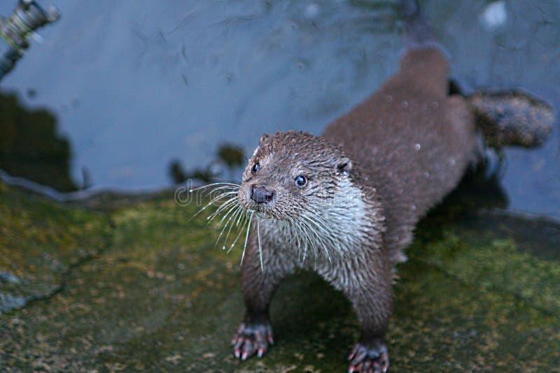 Lontra selvaggia nel fiume  fotografia stock