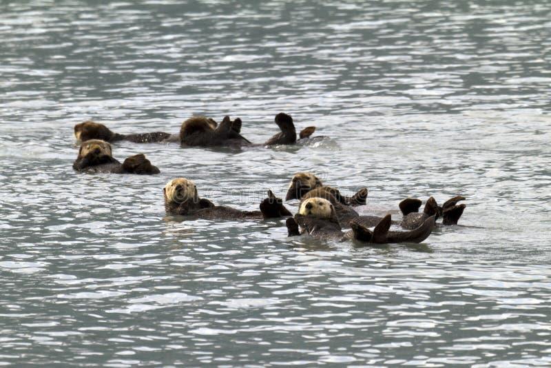 Lontras de mar foto de stock