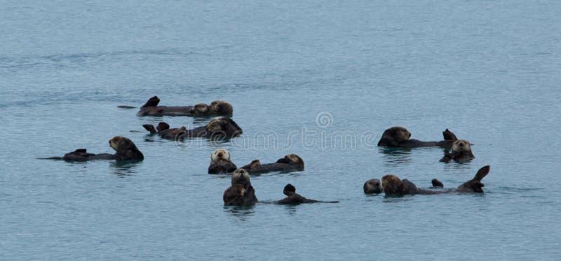 Lontras de mar que flutuam junto fotografia de stock royalty free