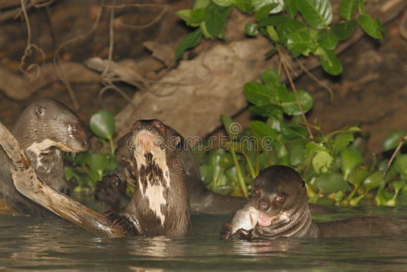 Lontras de rio gigantes no almoço fotografia de stock