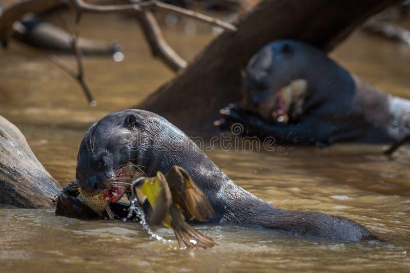 Lontras de rio gigantes que comem peixes ao lado do pássaro imagens de stock