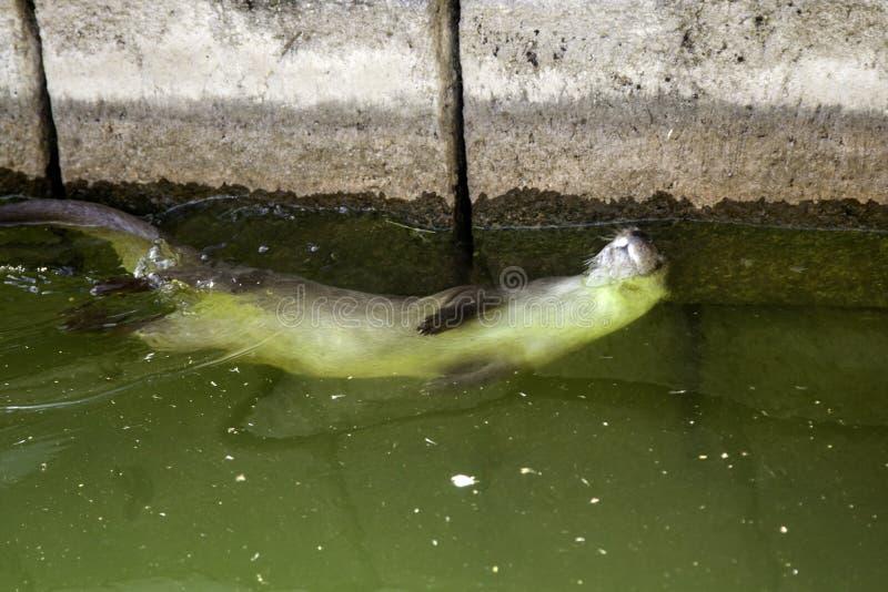 Lontras no lago fotografia de stock