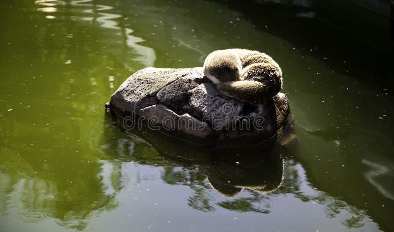 Lontras no lago fotos de stock