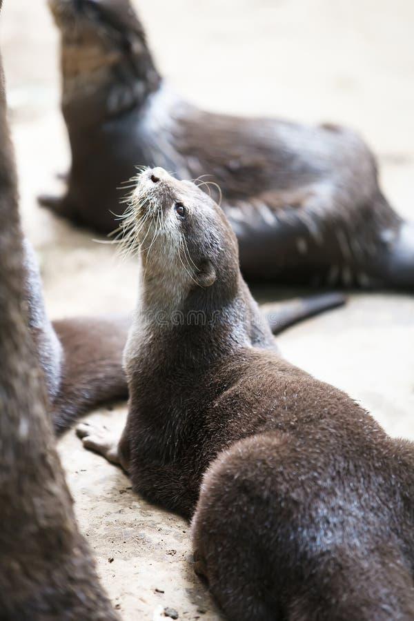Lontras Pequeno-agarradas orientais imagens de stock royalty free