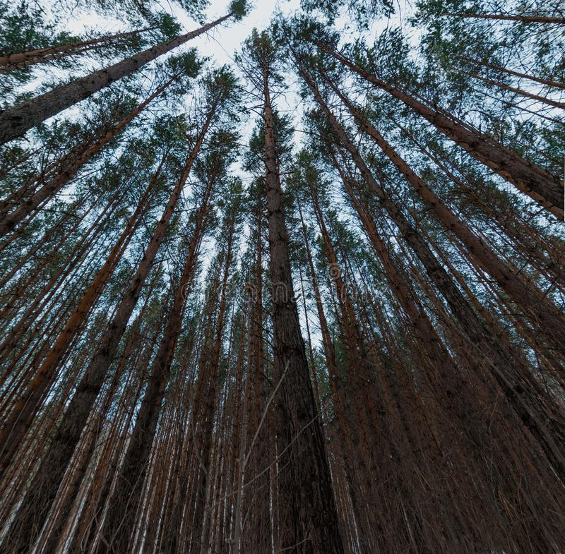 Looking up in pine forest tree tops with crowns to canopy. Bottom View Wide Angle Background royalty free stock images