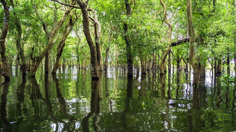 Looded mangrove forest. Cambodia stock photo