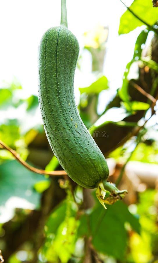 Download Loofah Plant Stock Photos - Image: 15333083