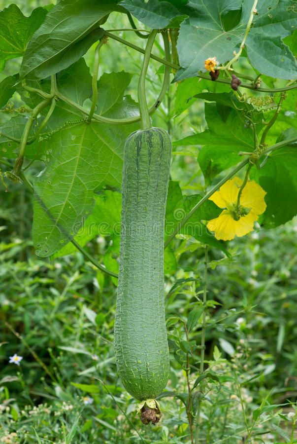Loofah plant royalty free stock photography