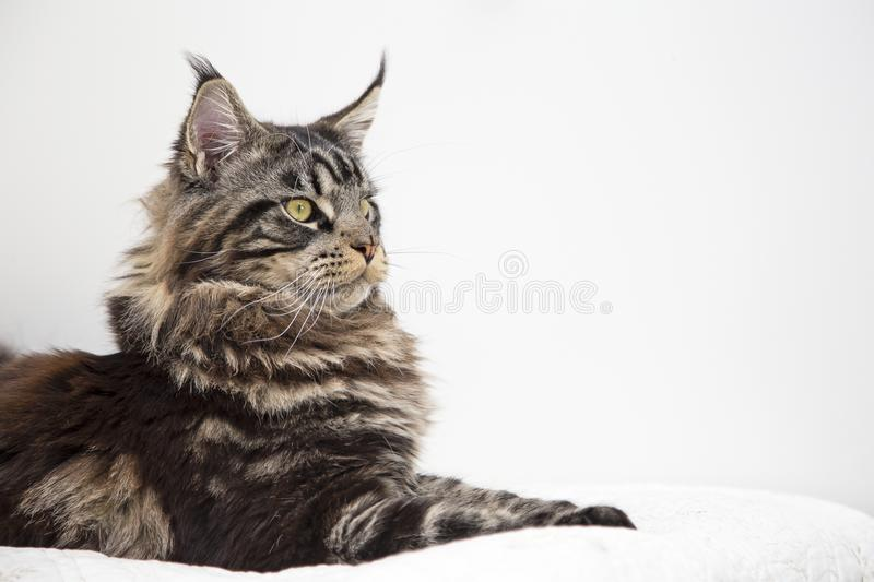 The look of the beautiful Maine Coon cat vstorinu on a white background. stock photo