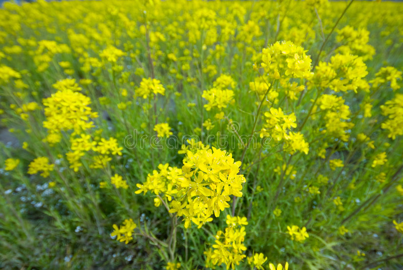 Download Look Down View Of Field Mustard Stock Photo - Image: 5921860