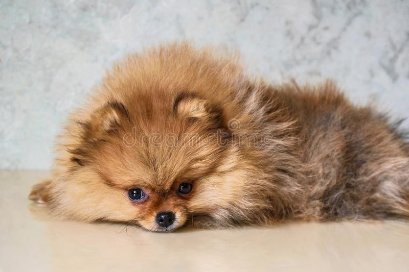 A look of the eyes of a little puppy of a Pomeranian spitz-dog at the age of three months lying on the table. stock images