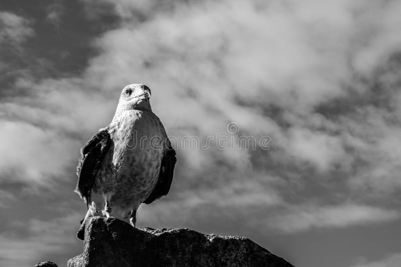 The Look of the Gull royalty free stock photos