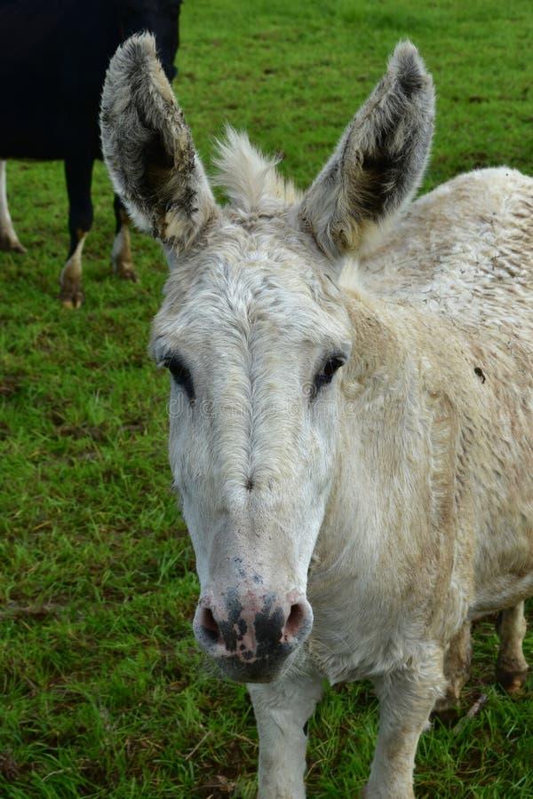 Look Into het Zoete Gezicht van een Witte Ezel stock afbeeldingen