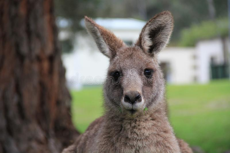 The look of a kangaroo. My wife and I went pass a park where we found some kangaroos came down from a nearby mountain. We stopped to check them out and this was stock photos