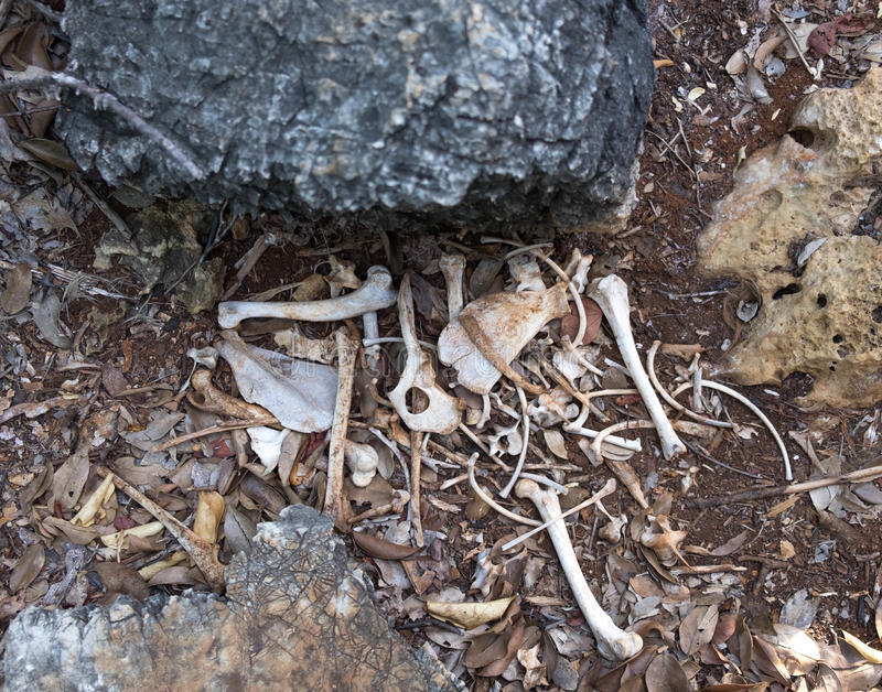It Look Like Dog Bone Putting In Deep Forest Beside Rock Stock Image ...