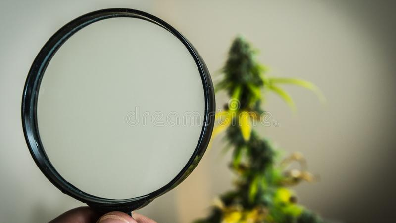 Look at medical marijuana buds with magnifying glass. Fresh harvest of cannabis plant growing indoors stock images