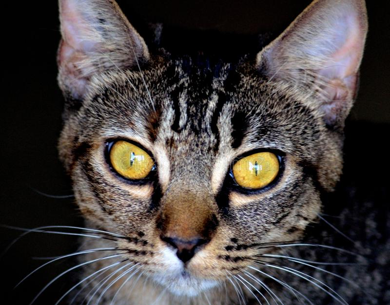 Look into my eyes. Beautiful feline looking for a pat in an animal shelter in BC Canada stock images