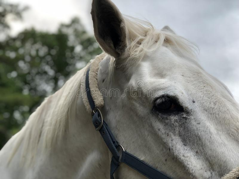 Look into my eyes. Just the big grey horse named Ivan who is great for photos royalty free stock image
