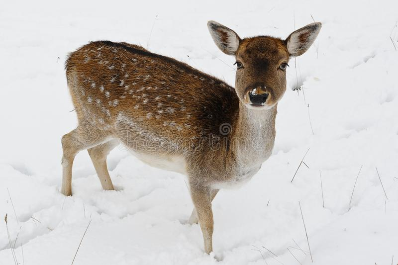 Look into my eys- deer, animal portrait. To get such a Foto is a successful outcome , because deers are very shy and it is not so easy to take ppctures of them royalty free stock photography