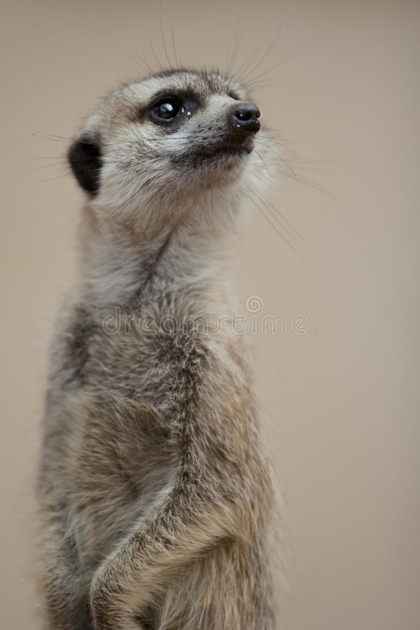The Look Out. Suricate on the Look Out, Bela Bela, South Africa royalty free stock photos