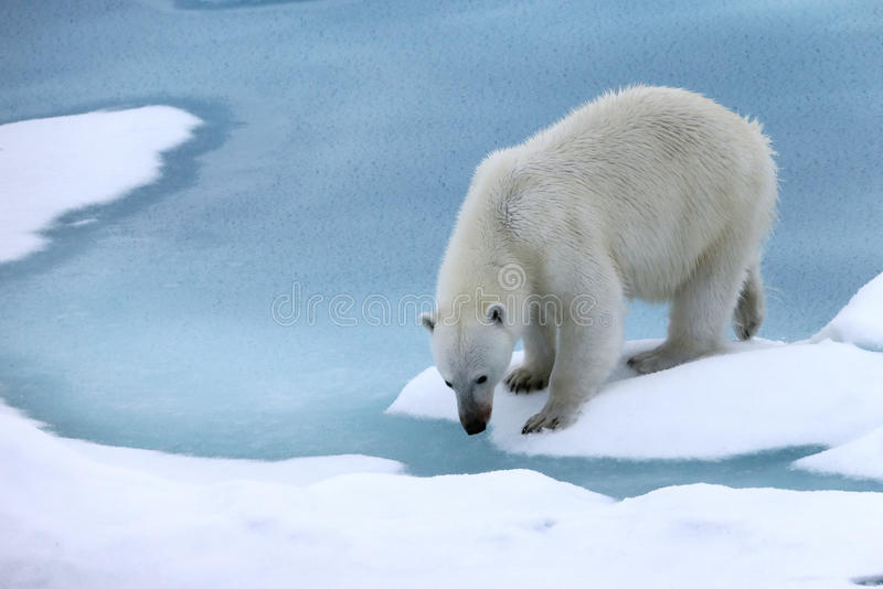 Look polar fotografia de stock royalty free