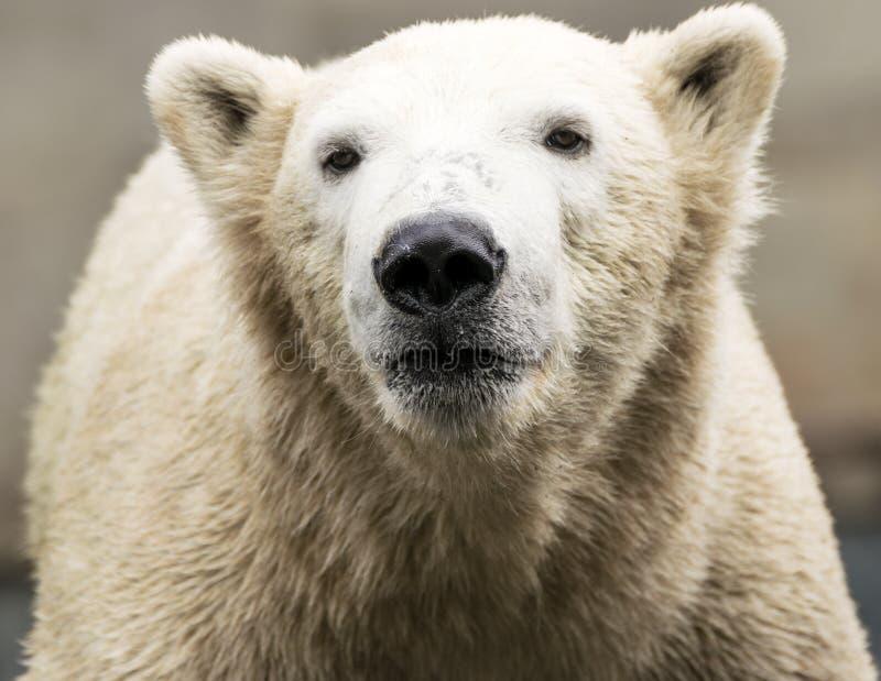 Look polar Maritimus do Ursus imagem de stock