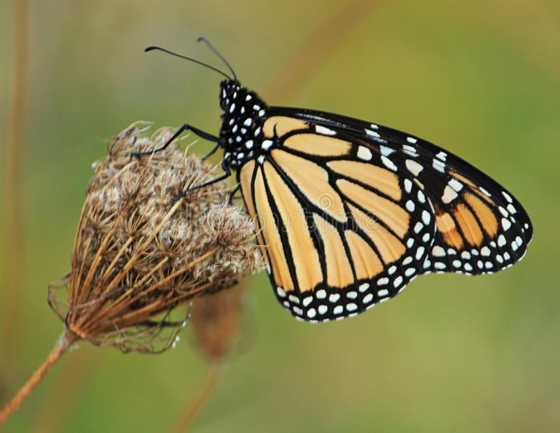 A Monarch Clings To Dried Queen Anne`s Lace stock photos