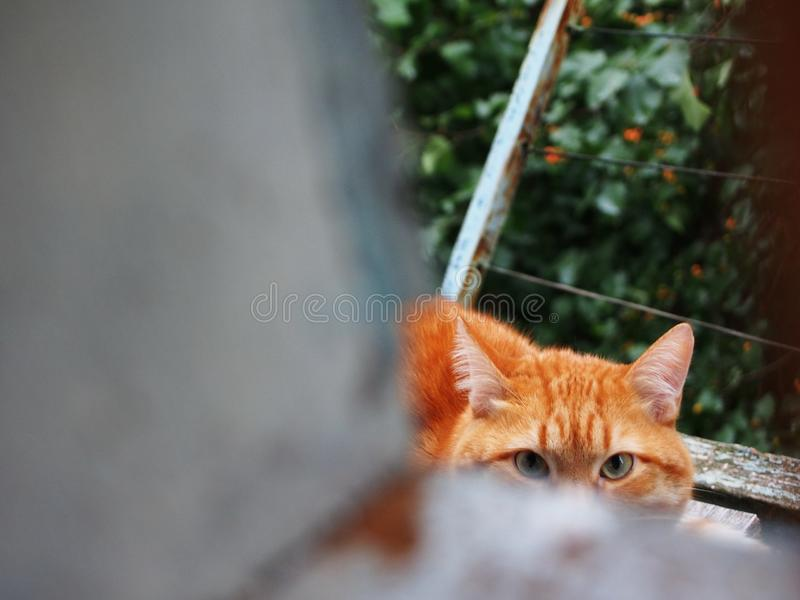 Look of red cat. Cat looks slyly at his master. Cat beautiful red shade. royalty free stock images