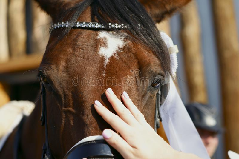 Look of a tired brown horse in ammunition. Fragment of a horse`s face. Female hand stroking a horse. Close-up, horizontal, side view, free space. Sport and stock photography