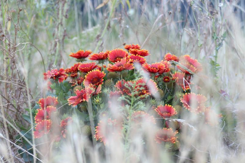 Look to the red flower behind grass. royalty free stock photos