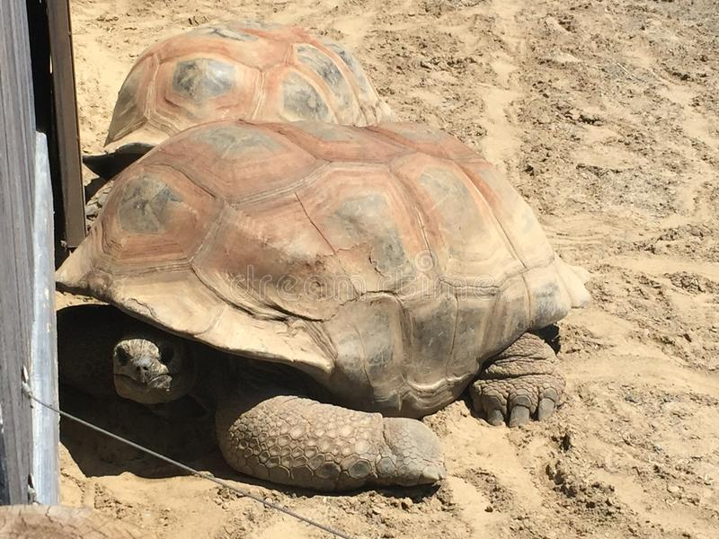 2 turtles at the zoo but one of the 2 looks at me so that I can take a picture. royalty free stock photo
