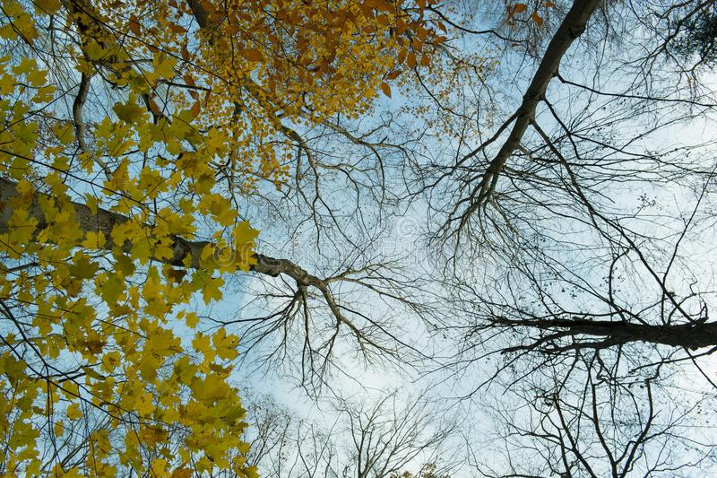 Look Up while most trees have lost leaves for fall a few glows of color remain. Trees silhouette against the sky as the leaves fall off as the weather grows royalty free stock photos