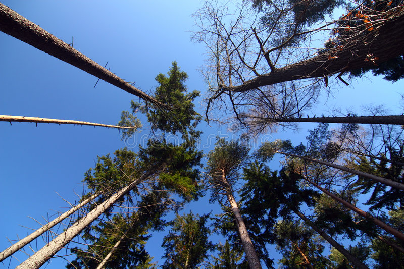 Look up in the pine forest stock image