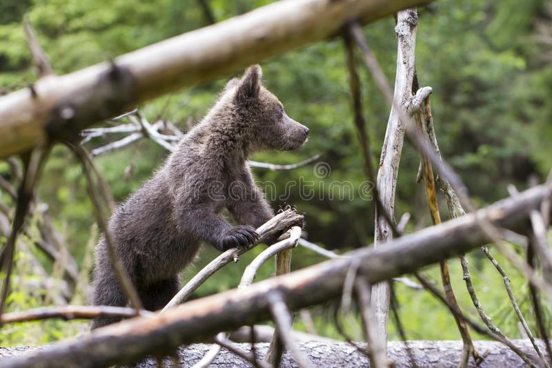 Look up to the forest bear royalty free stock images