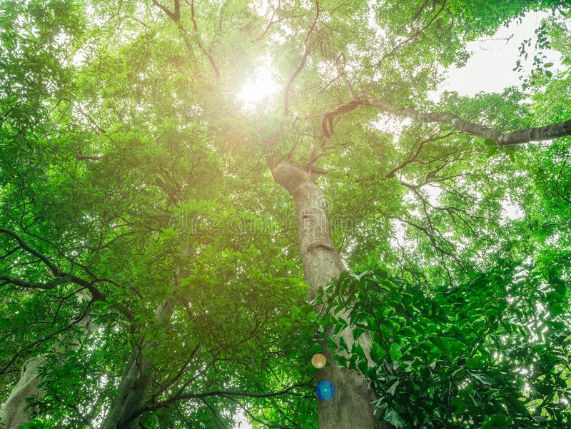 Look up to the Giant tree in the way to the top of Khao Luang mountain in Ramkhamhaeng National Park stock images