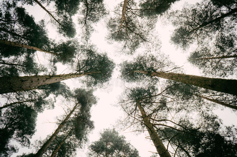 Look up through the trees. View from the ground up to the sky through pine trees royalty free stock images