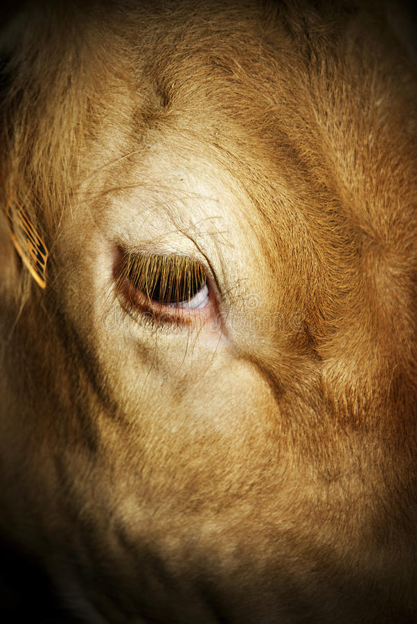 The look of veal (cruel fate) royalty free stock images